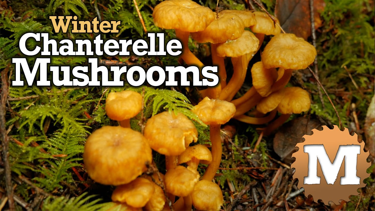 Winter Chanterelle Mushrooms - MAN about TOOLS